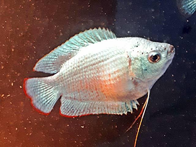 Zwergfadenfisch Cobalt blau Colisa lalia