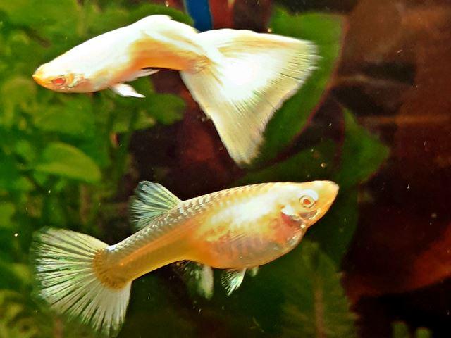 Guppy Blond Albino Platinum