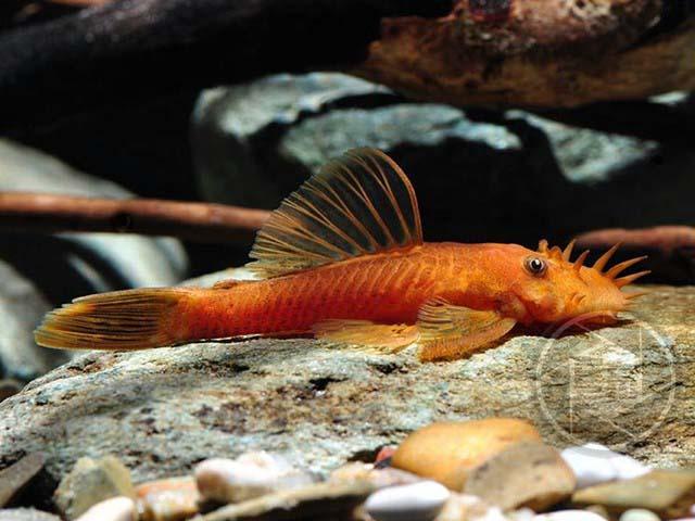 Roter Antennenwels Ancistrus dolichopterus Zierfischzucht Kotterba