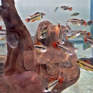 Der Kakadu-Zwergbuntbarsch Apistogramma cacatuoides