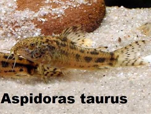 Aspidoras taurus