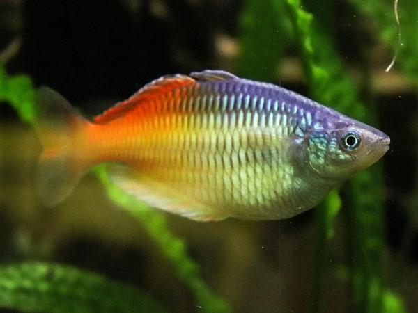 Boesemanns Regenbogenfisch rot Melanotaenia boesemanni