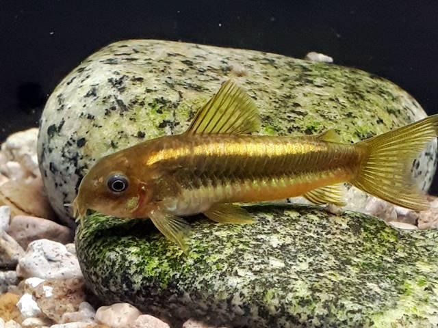 Gold Stripe Panzerwels Corydoras aeneus spec.gold stripe