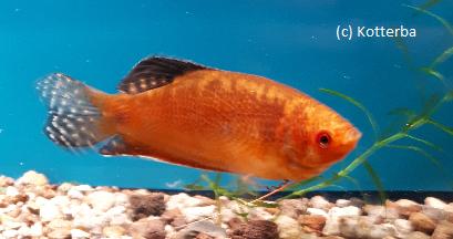 Goldfadenfisch superrot Trichogaster trichopterus