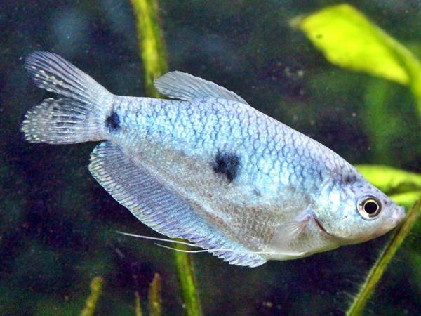 Blauer Fadenfisch Trichogaster trichopterus