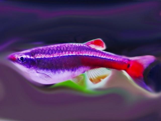 Kardinalfisch Tanichthys albonubes
