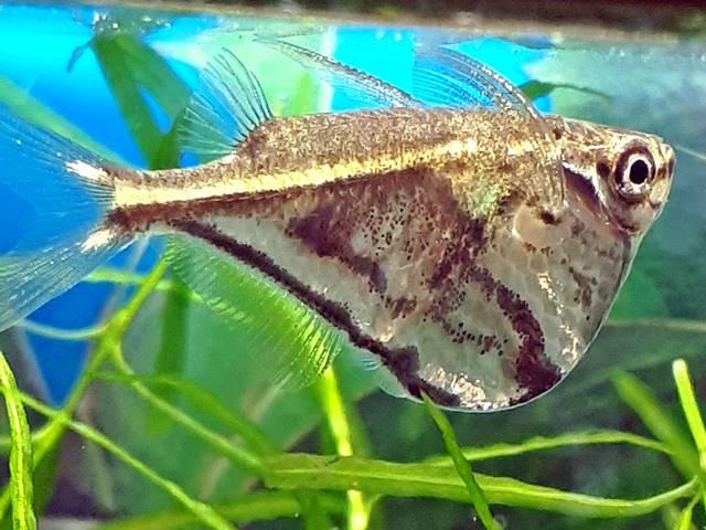 Marmorierter Beilbauchfisch Carnegiella strigata strigata