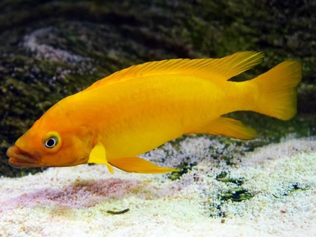 Tanganjika-Goldcichlide Neolamprologus leleupi