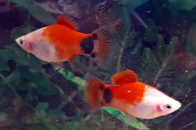 Platy-Mickeymouse Red-White