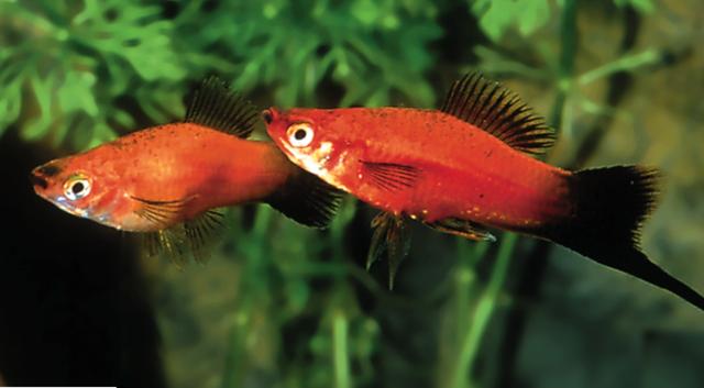 Schwertträger wagtail Xiphophorus helleri