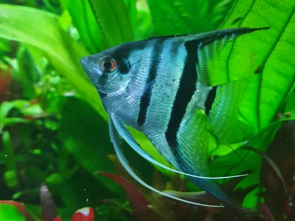 Skalar Blau Zierfischzucht Kotterba