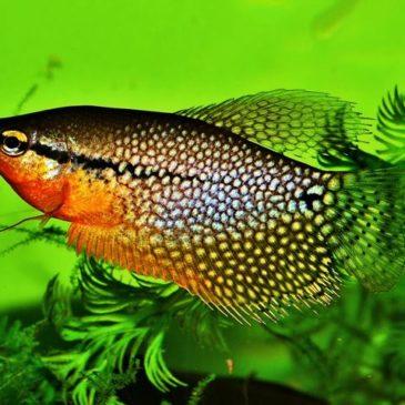 Der Mosaikfadenfisch