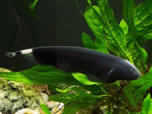 Weißstirn Messerfisch Apteronotus albifrons